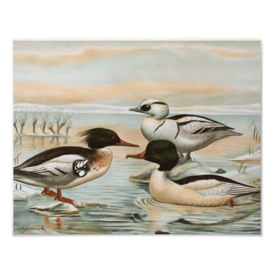 Mergansers Vintage Bird Illustration Poster