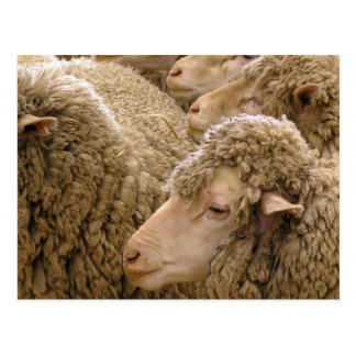 Merino sheep postcard