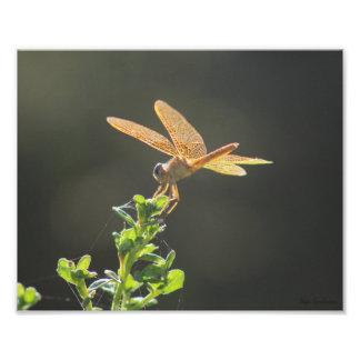 Mexican Amberwing 8x10 Archival Matte Poster Print