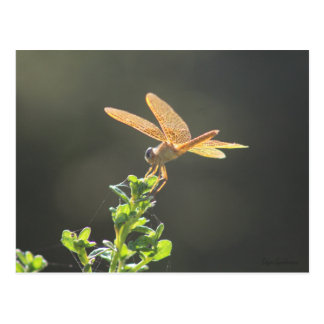 Mexican Amberwing Dragonfly Postcard