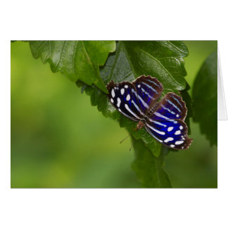 Mexican bluewing butterfly card