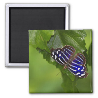 Mexican Bluewing butterfly Square Magnet