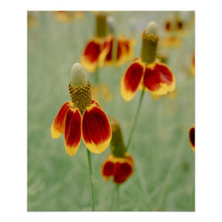 Mexican Hat Texas Wildflowers Poster