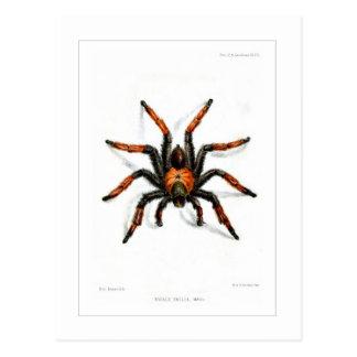Mexican red leg tarantula postcard