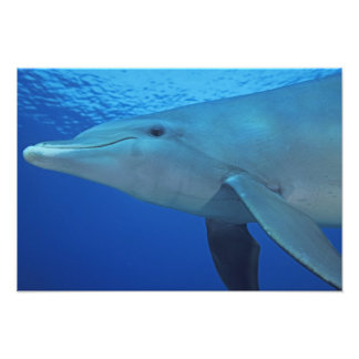 Mexico Cozumel Bottlenosed Dolphin Tursiops 5 Photographic Print