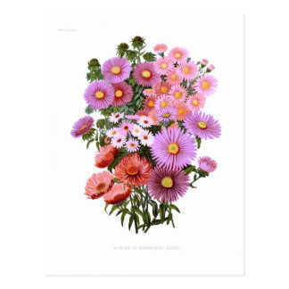 Michaelmas Dasies (Asters) Postcard