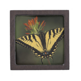 Michigan, Houghton Lake. Tiger Swallowtail on Premium Trinket Boxes