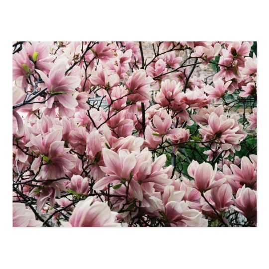 Michigan Magnolia Postcard