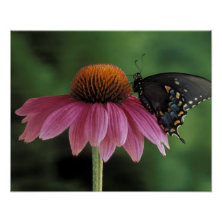 Michigan, Rochester. Spicebush Swallowtail on Poster