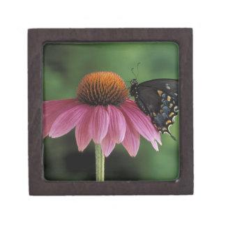 Michigan, Rochester. Spicebush Swallowtail on Premium Gift Box