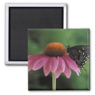 Michigan, Rochester. Spicebush Swallowtail on Square Magnet