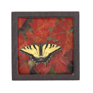 Michigan, Wetmore. Tiger Swallowtail on maple Premium Gift Box