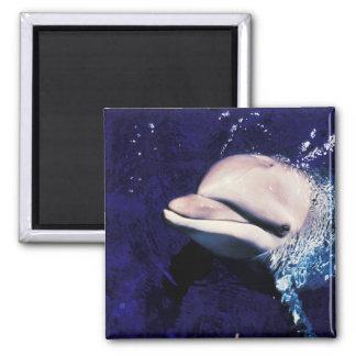 Micronesia, Palau Bottlenose dolphin Tursiops Magnet