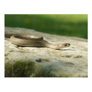 Midland Brown Snake. Postcard