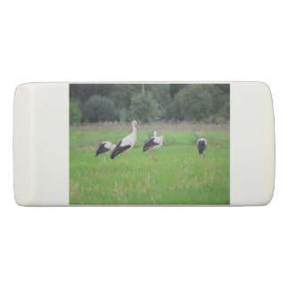 Migrating white storks, ciconia, in a meadow eraser