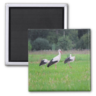 Migrating white storks, ciconia, in a meadow magnet