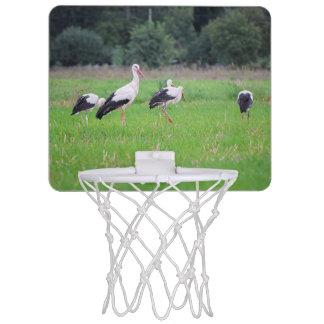 Migrating white storks, ciconia, in a meadow mini basketball hoop