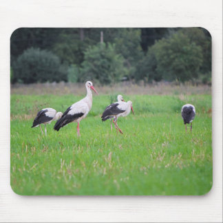 Migrating white storks, ciconia, in a meadow mouse pad