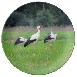 Migrating white storks, ciconia, in a meadow plate