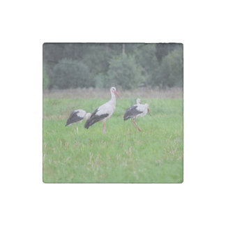 Migrating white storks, ciconia, in a meadow stone magnets
