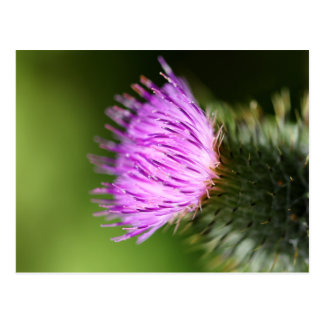 Milk Thistle Purple Wildflower Postcard