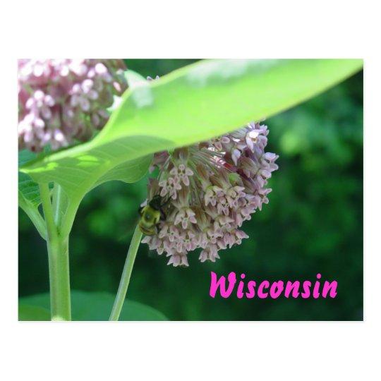 Milkweed Blooms Postcard