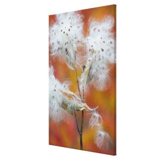 Milkweed seeds in autumn, Canada Canvas Print