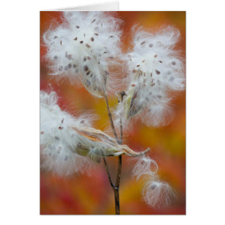 Milkweed seeds in autumn, Canada Card