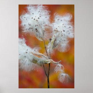 Milkweed seeds in autumn, Canada Poster