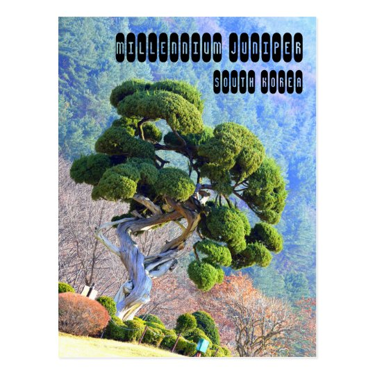 Millennium Juniper Postcard