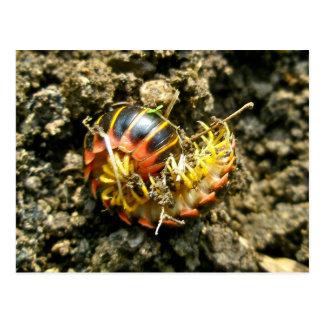 Millipede Polydesmida (Sigmoria aberrans) Items Postcard