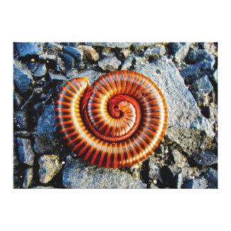 Millipede Trigoniulus Corallinus Curled Arthropod Canvas Print
