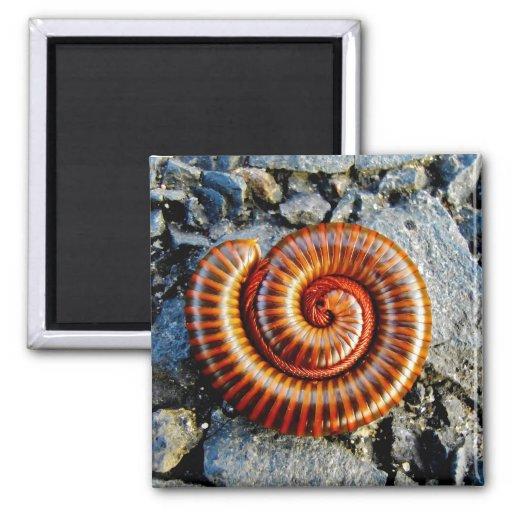 Millipede Trigoniulus Corallinus Curled Arthropod Magnets