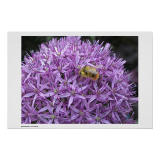 Mini Bumble Bee on Allium Poster