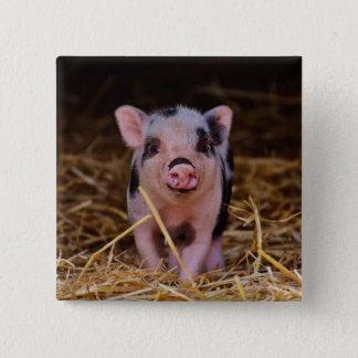mini pig 2 inch square button