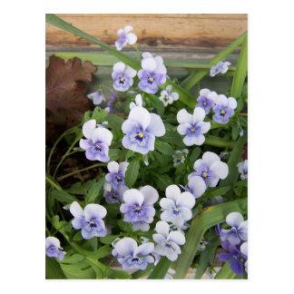 Mini Purple Violets Flowers Postcard