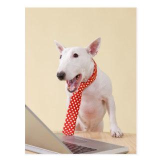 Miniature Bull Terrier looking at laptop, Postcard