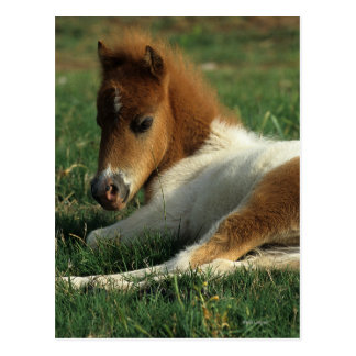 Miniature Foal Laying Down Post Cards