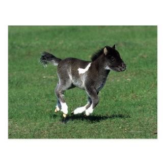 Miniature Foal Running Postcard
