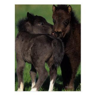 Miniature Foals 1 Postcard
