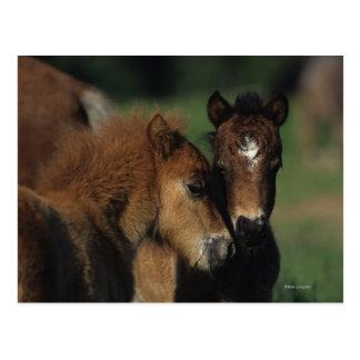 Miniature Foals 2 Postcard