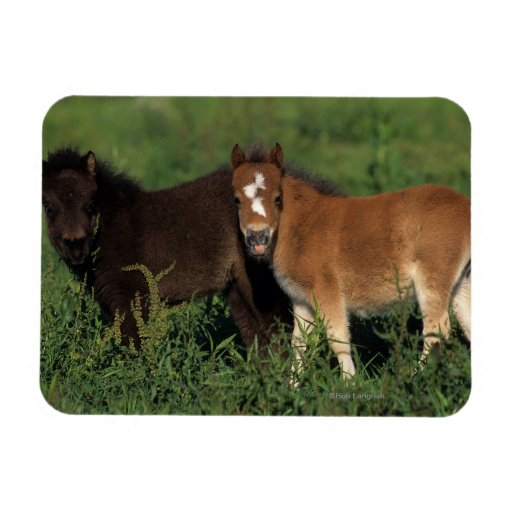 Miniature Foals in Grass Magnet