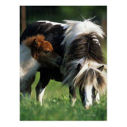 Miniature Mare & Foals 2 Postcard