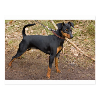 Miniature_pinscher Postcard
