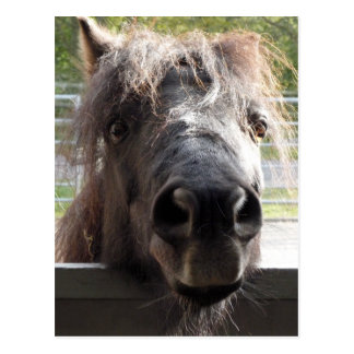 Miniature Pony Peering Over Fence Postcard
