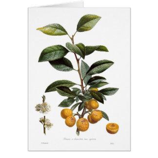 Mirabelle plum (Prunus x domestica var. syriaca) Card