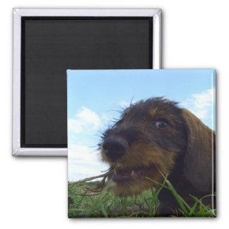 Mischievous Dachshund Puppy Magnet