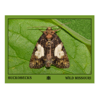 Missouri Moth. Postcard