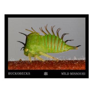 Missouri plant hopper nymph postcard