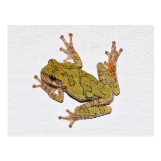 Missouri Tree Frog. Postcard